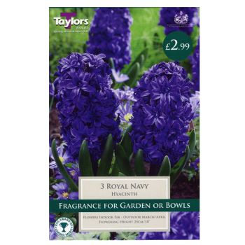 Taylors Bulbs TP642 Hyacinth Royal Navy available from Strawberry Garden Centre, Uttoxeter