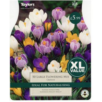 Taylors Bulbs XL655 Crocus Large Flowering Mixed available from Strawberry Garden Centre, Uttoxeter
