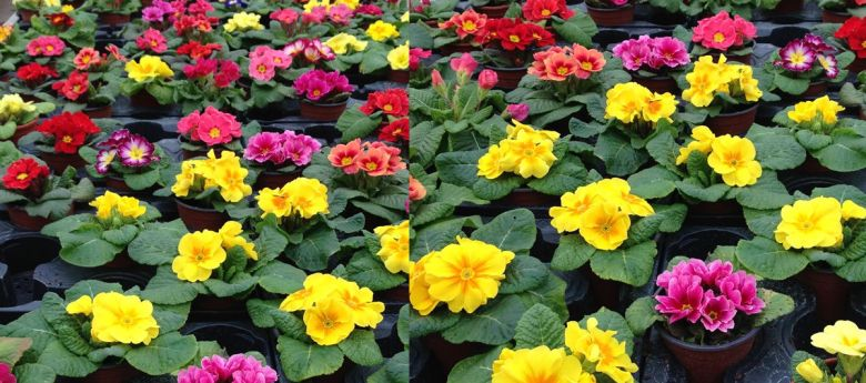 primroses available from Strawberry Garden Centre, Uttoxeter, Staffs
