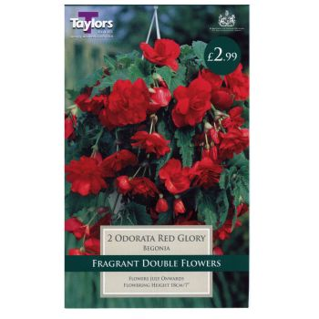 Taylors Bulbs TS283 Begonia odorata red glory bulbs available from Strawberry Garden Centre, Uttoxeter