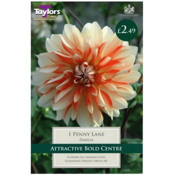Taylors Bulbs TS466 dahlia penny lane bulbs available from Strawberry Garden Centre, Uttoxeter