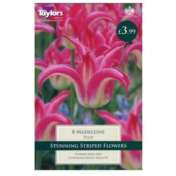 Taylors Bulbs TP477 Tulip Madeleine available from Strawberry Garden Centre, Uttoxeter