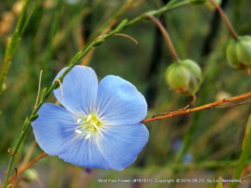 blue wild flax flower, natural color
