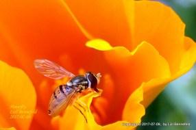 Hoverfly & California Poppy
