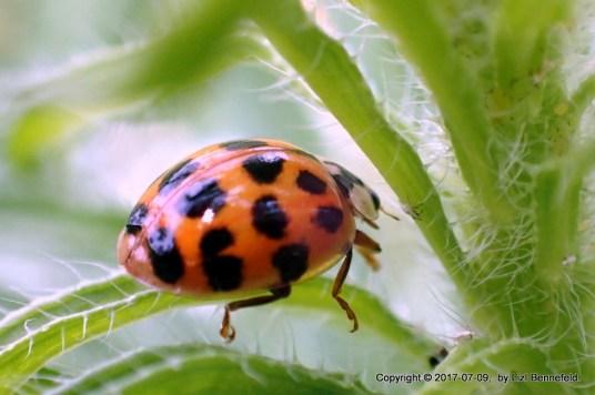Lady Bug, Sunday Morning Walk