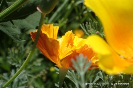 Poppy Flower in Partial Shade