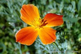 Reddish poppy, close-up, unopened
