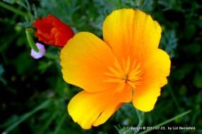 California Poppy, yellow