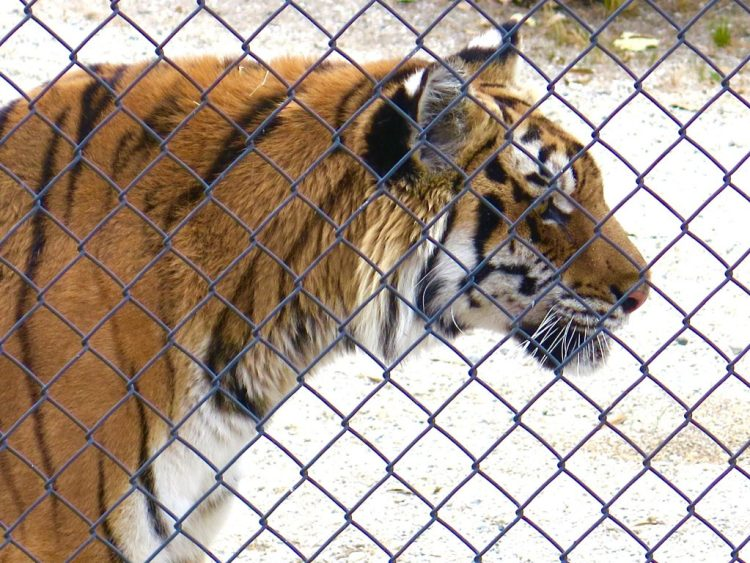 The tiger cubs were living in unhealthy conditions and the shelter was shut down by the Department of Fish & Game.
