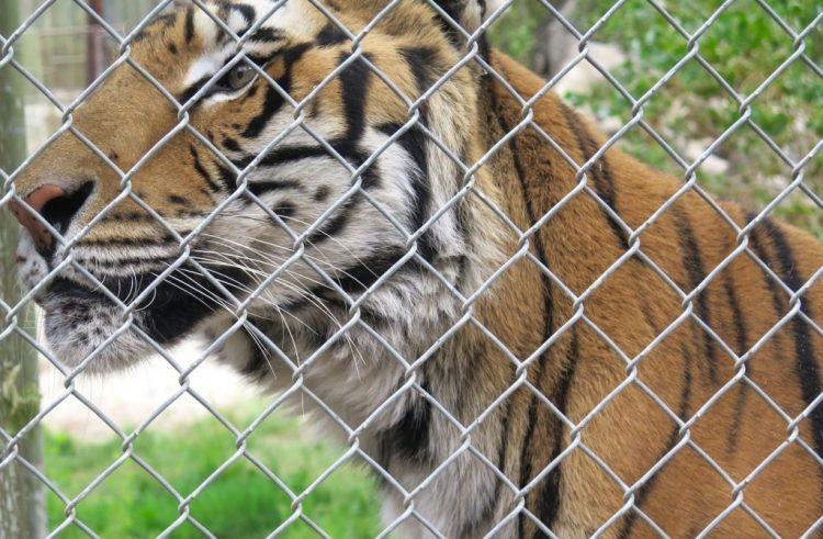 Name: Natasha Birthdate: 1996 Former Home: Scotchplains Zoo in New Jersey Shambala Arrival Date: September 1997