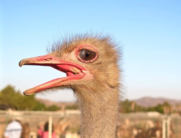 As the largest bird in the world, Ostrich's have the largest eyes of any bird in the world. They take up so much room in the skull that the ostrich's brain is actually smaller than either one of its eyeballs.