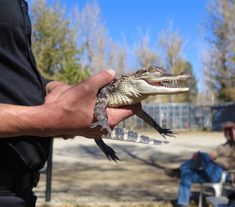 This baby alligator which was recently rescued was super cute...