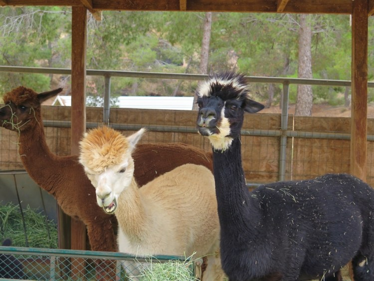 Shearing keeps them cool during the hot summer months and also provides Secka with another source of income.