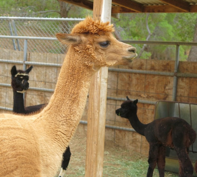 Secka boards, breeds, sells and shears alpacas at her ranch, providing a stud service, fiber products and public visits for anyone interested in seeing what these animals are all about.