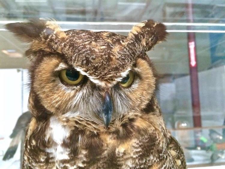 Horny Owl
