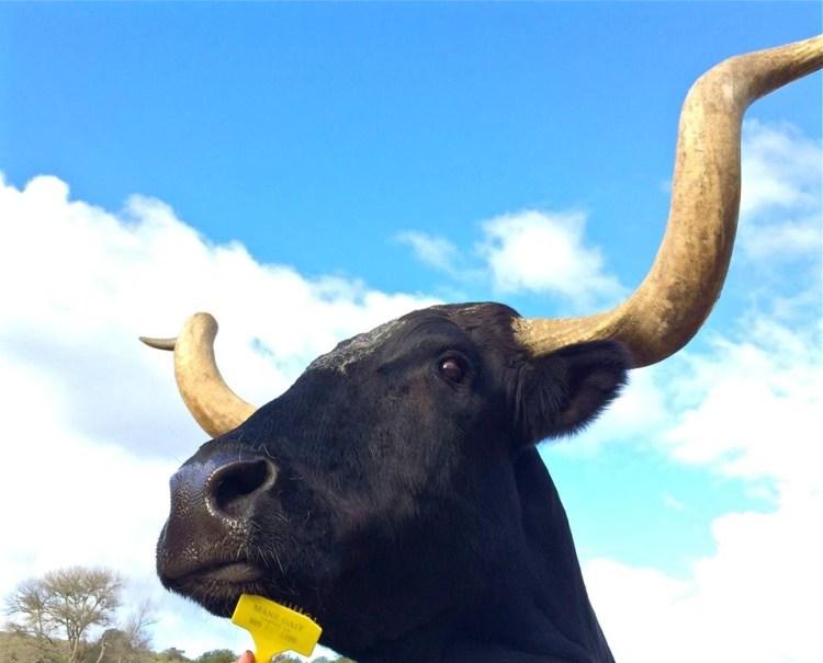 Brea the Longhorn