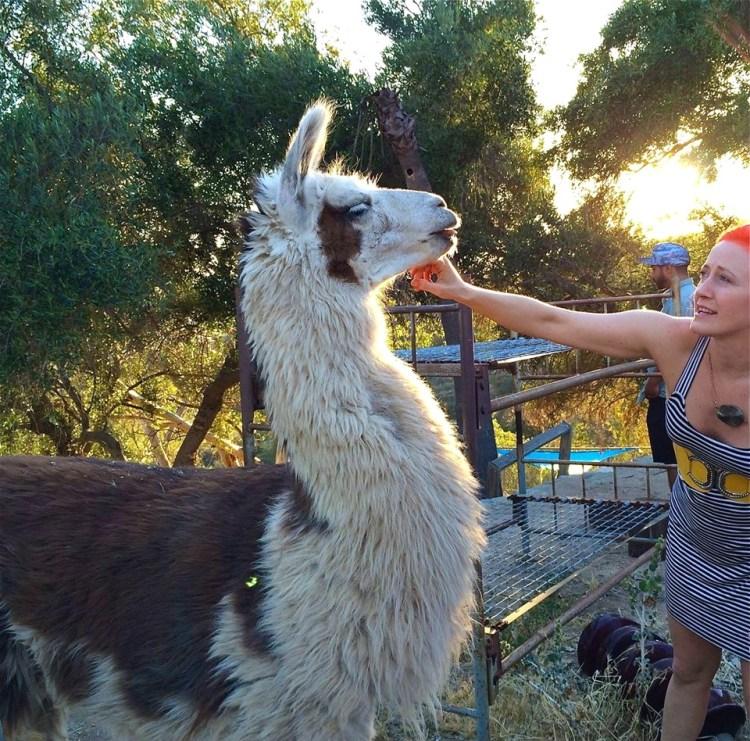 Rama the free range Llama.