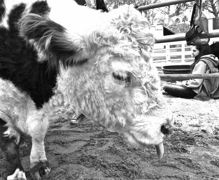 Cow Lick B&W