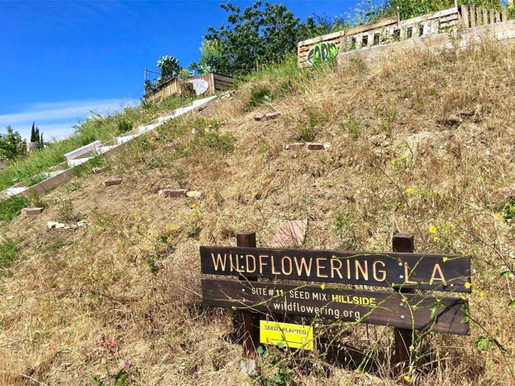 "#11 – Mt Washington 4527 Otay Drive, Los Angeles 90065 BLOOM RATING: LOW / very remote hillside up long dirt road / MARCH REPORT: ""The lupin seems to have peeked already. The very tall small yellow flowers are abundant."