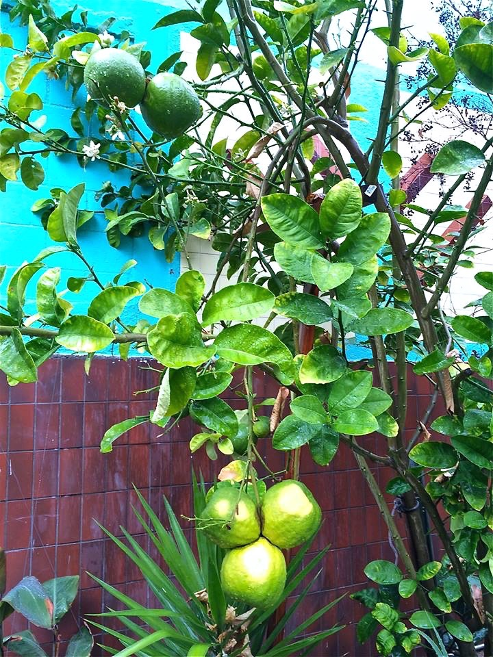Not sure what these were [grapefruit?] but they sure were big.