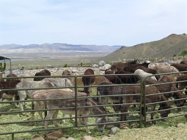 Upon contacting NPS, they admitted to shooting over 400 Death Valley wild burros from 1987 through 1994 utilizing a lethal removal policy called 'direc reduction'. We were even more dismayed to learn that there was no public, or other, effective opposition to end this senseless slaughter of wild burros. We could no longer enjoy our lives knowing that wild burros were being routinely shot on our public lands, so we decided to go all out to stop this horror. That is when WBR ceased to be just two people with a vision and became a small, but powerful, organization funded by a few animal foundations and strengthened by supporters and volunteers dedicated to saving the Death Valley buros.""