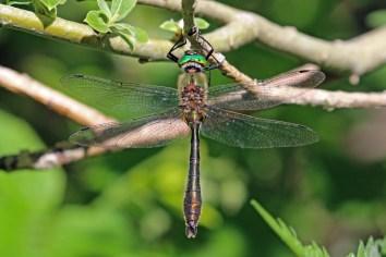 Downy emerald (Cordulia aenea), photo: Charles J Sharp.