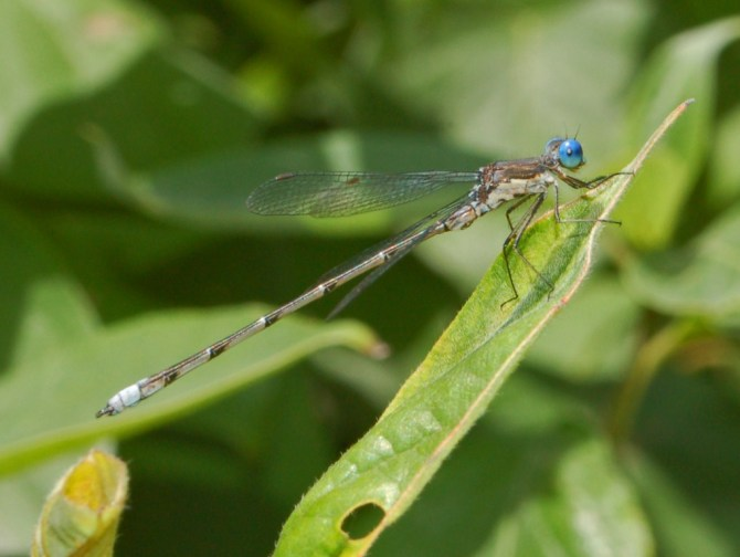 Spotted spreadwing damselfly (Lestes congener), photo: Hectonichus.