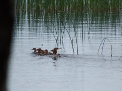 Merganser mom