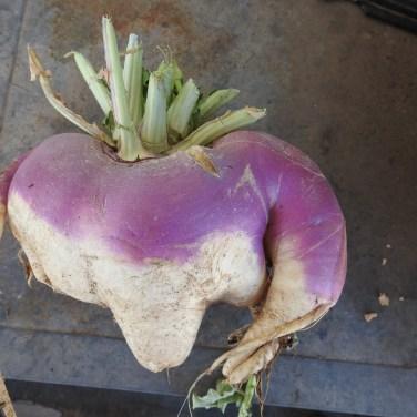 Monster Turnip