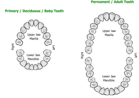 Human Teeth Answer Key