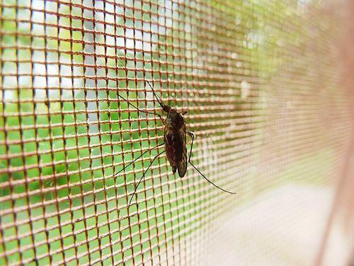 網戸の蚊.jpg