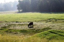 cow-in-the-wilderness