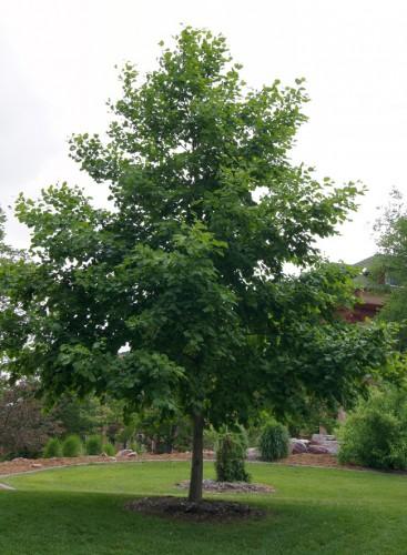 manchurian_alder_tree