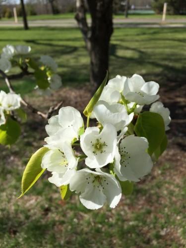 Trees in bloom near Lake Nokomis