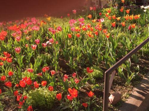 Spring tulips
