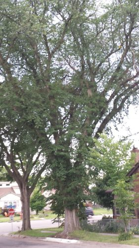 Large Boulevard Tree at 41st St E and Portland Ave S