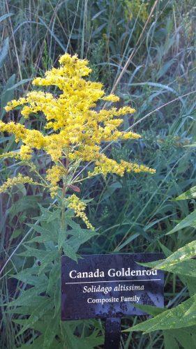 Canada Goldenrod (Solidago Altissima)