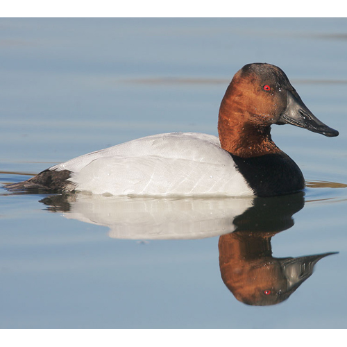 Canvasback duck, not to be mistaken for a redhead.