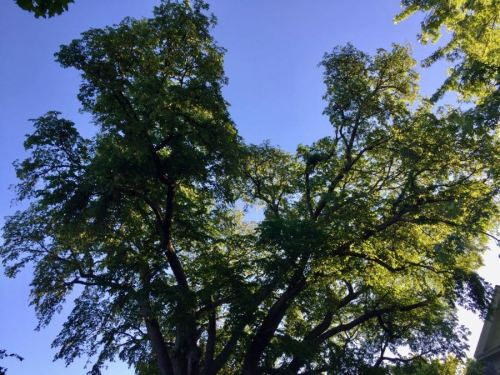 Tree top of a Minnesota Champion