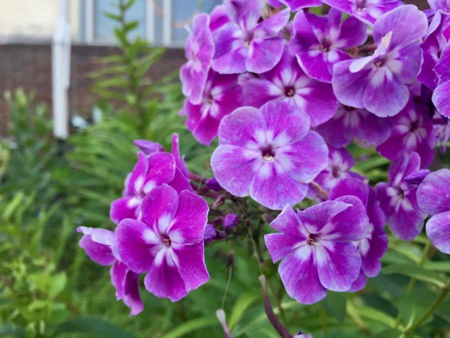 Purple blooms