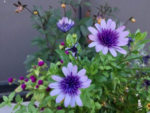 Purple flowers in window box