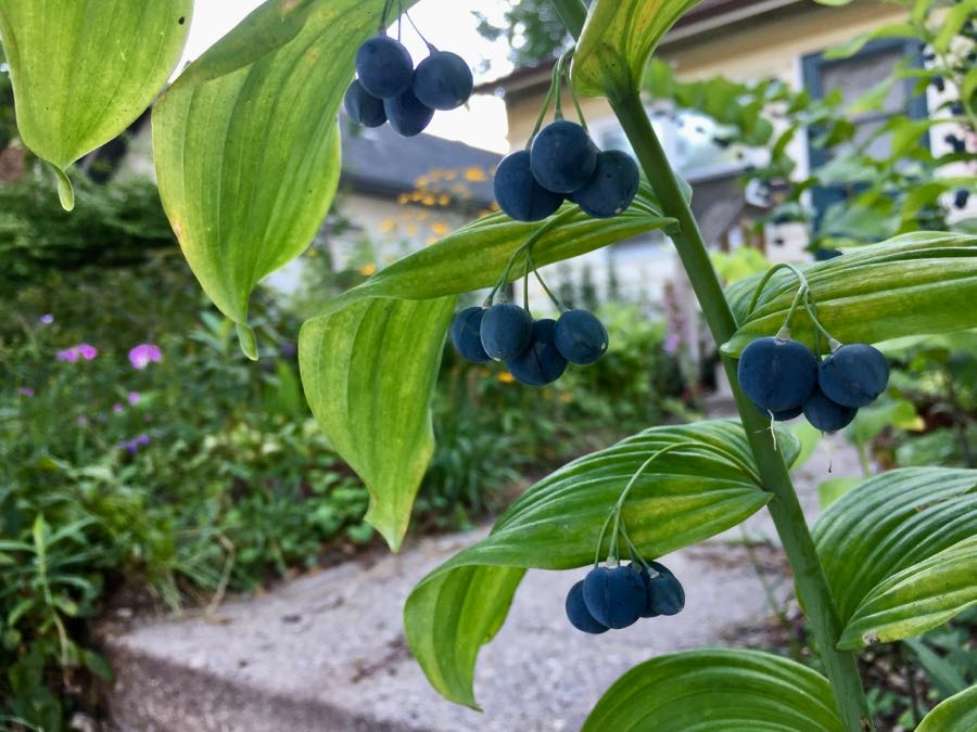 Berries on a plant