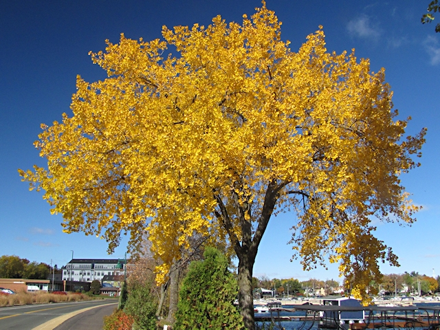 Not Highway 91, but a pretty tree in White Bear Lake