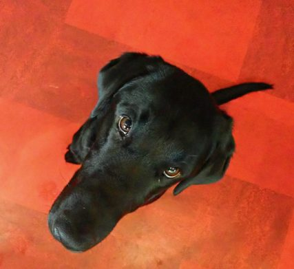 view of black labrador retriever sitting dog red floor