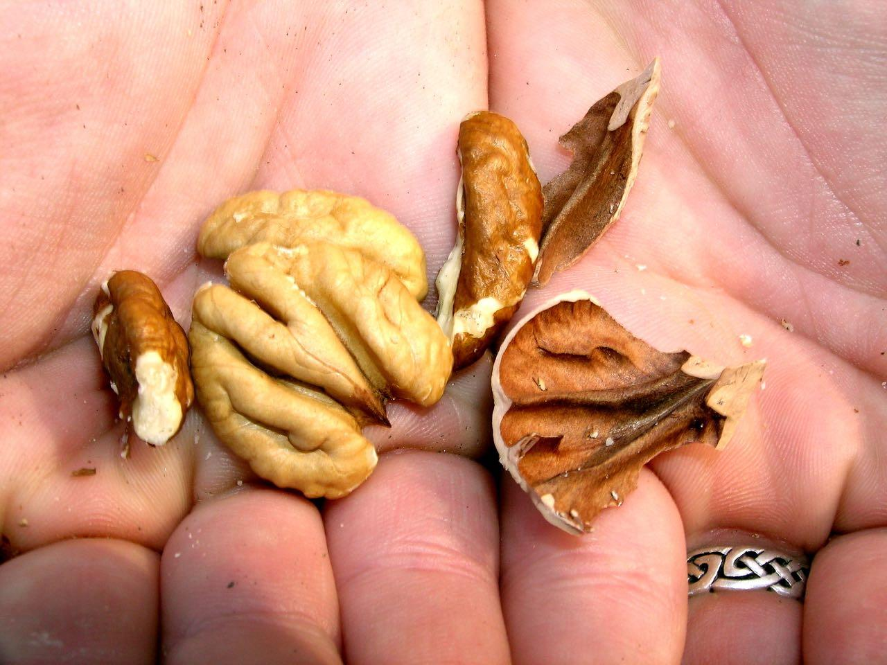 Close up of hickory-pecan nuts in a person's hands