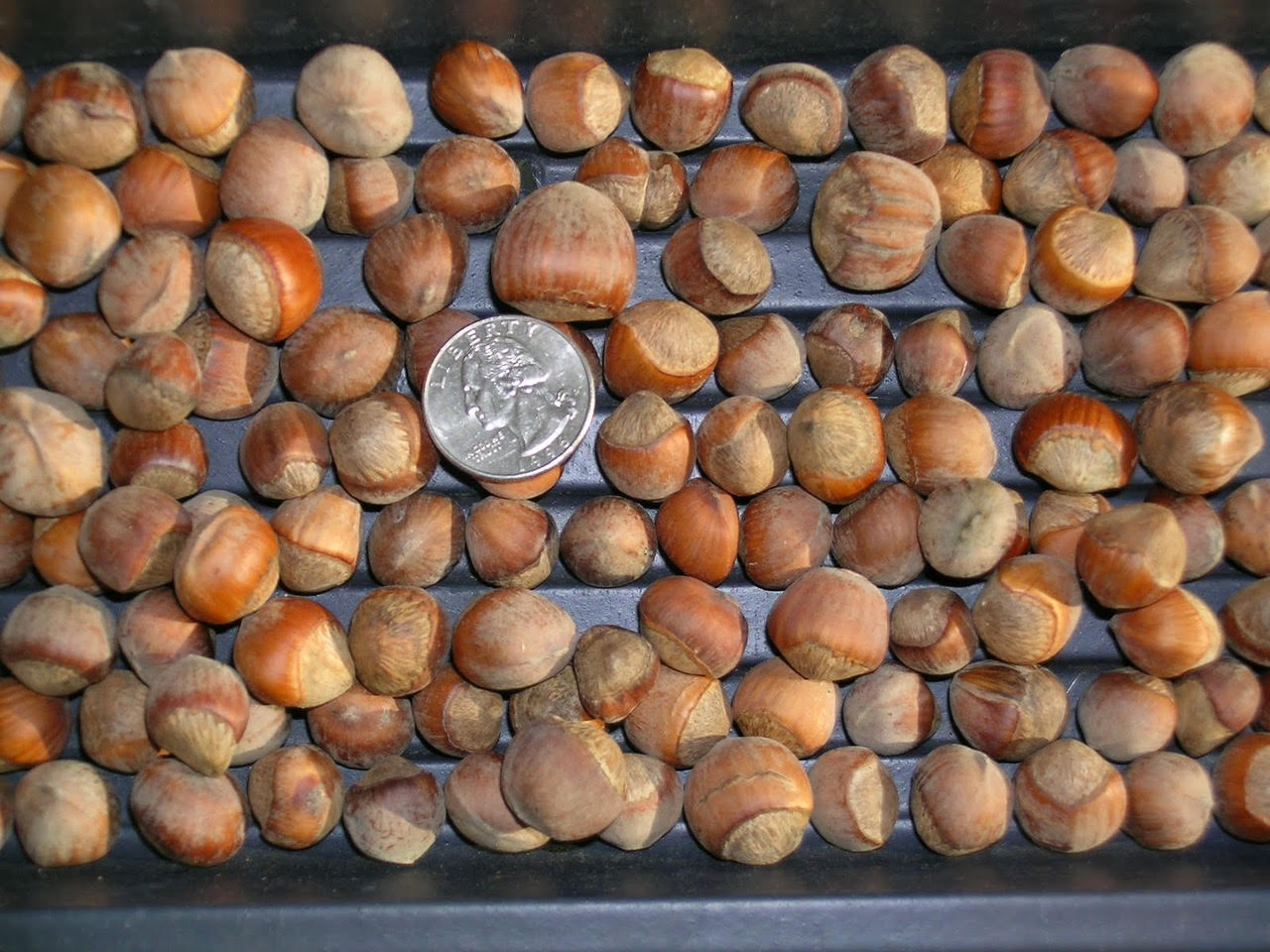 dozens of chestnuts, about the size of the shown quarter