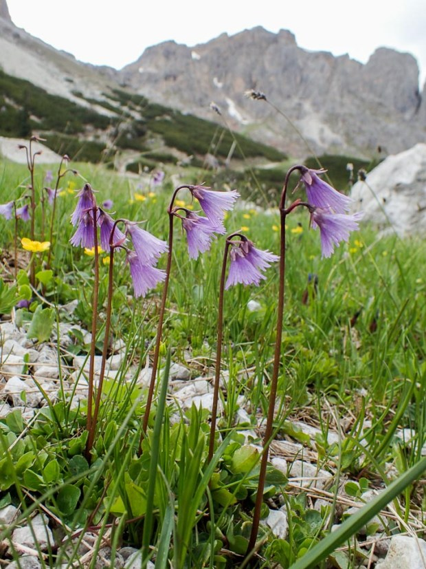 Mountain Flowers in the Dolomites