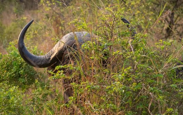 Safari Roads - Buffallo hiding