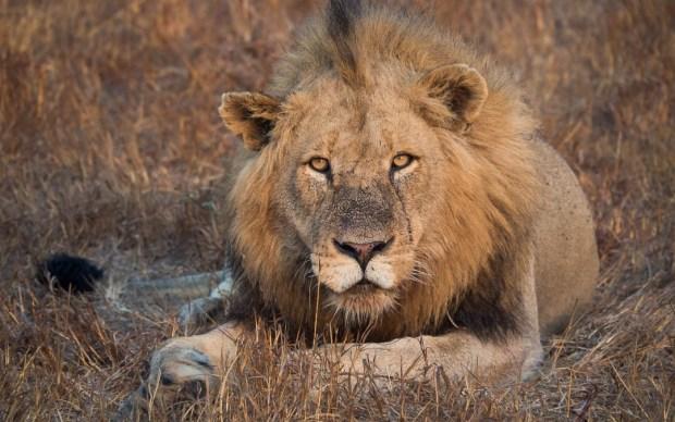 Safari Roads - Lion blocking the road