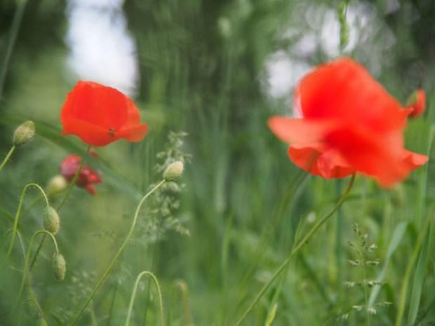 Dreamy Poppies